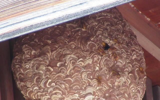 クマバチの巣アップです